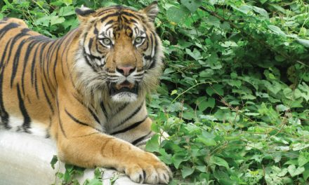 Save Wild Tigers announces global campaign