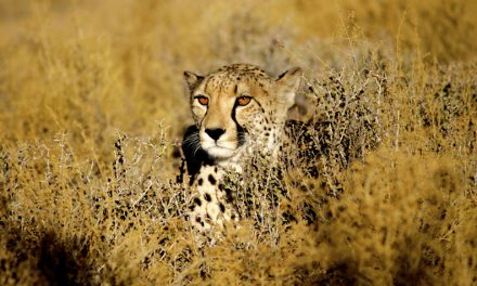 Home on the range for cheetahs at Inverdoorn Game Reserve