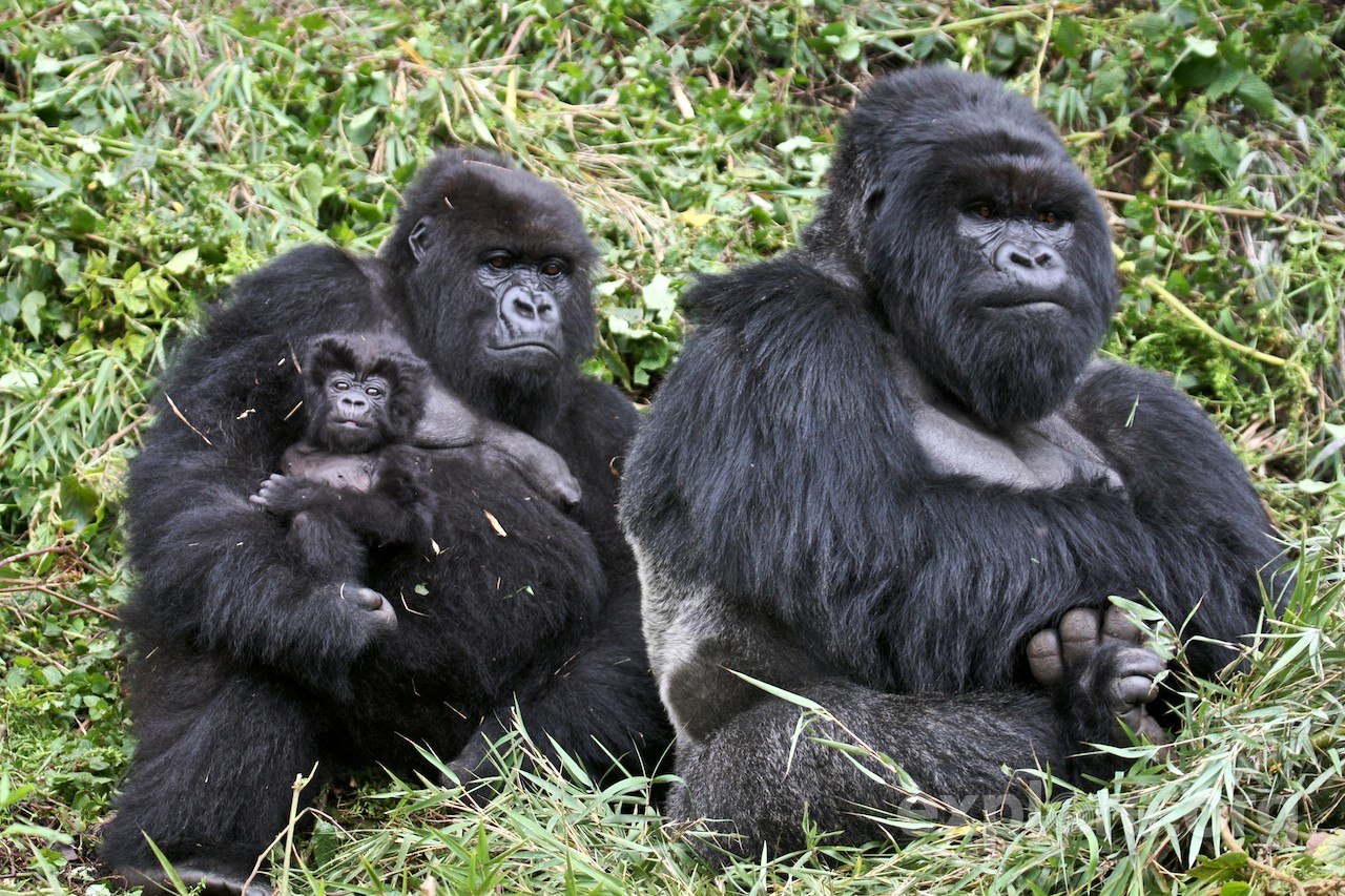 gorilla behavior and human behavior essay Human and ape behavior  they are composed of the orangutan, gorilla,  which is in accordance with human behavior.