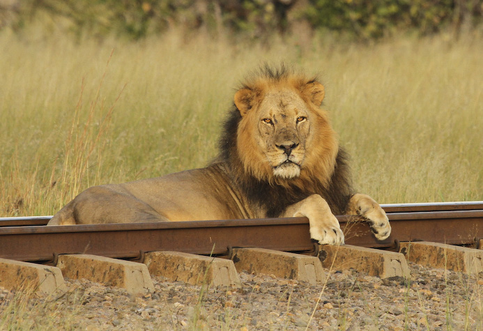 Lion on the line in Hwange, Elephant Express