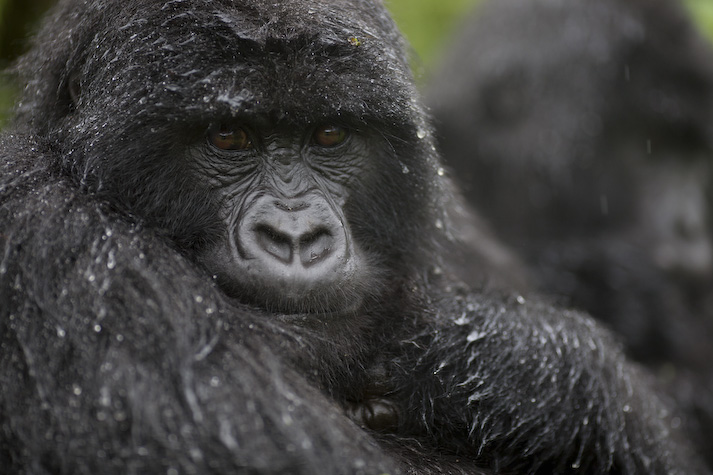 mountain gorillas essay The fully adult male mountain gorilla is twice as large as the female habitat the most serious threat to mountain gorillas have a slow rate of reproduction.