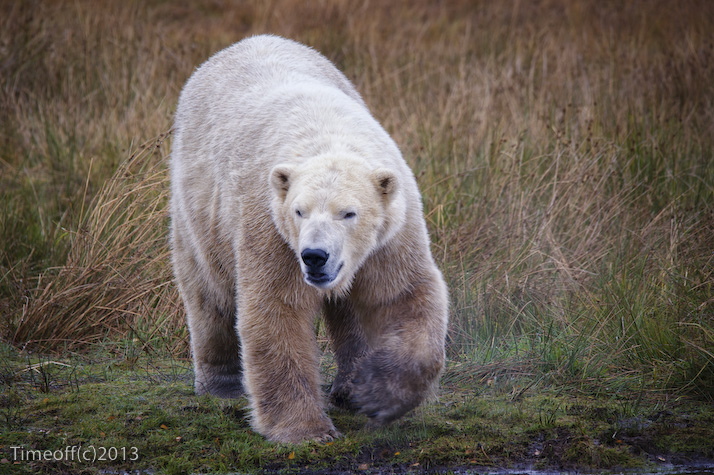 Polar bear breeding begins in the Highlands