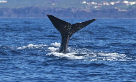 Go whale-watching in the Azores with Saga